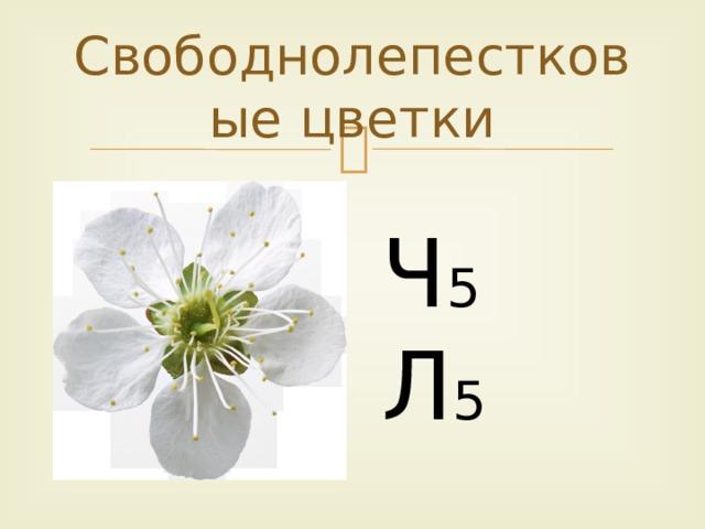 Свободнолепестковые цветки Ч 5  Л 5