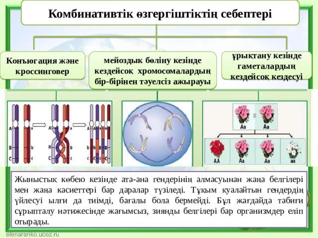 Комбинативтік өзгергіштіктің себептері Конъюгация және кроссинговер мейоздык бөліну кезінде кездейсоқ хромосомалардың бір-бірінен тәуелсіз ажырауы ұрықтану кезінде гаметалардың кездейсоқ кездесуі Жыныстық көбею кезінде ата-ана гендерінің алмасуынан жаңа белгілері мен жаңа касиеттері бар даралар түзіледі. Тұқым қуалайтын гендердің үйлесуі ылғи да тиімді, бағалы бола бермейді. Бұл жағдайда табиғи сұрыпталу нәтижесінде жағымсыз, зиянды белгілері бар организмдер еліп отырады.