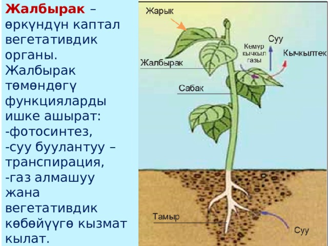 Жалбырак – өркүндүн каптал вегетативдик органы. Жалбырак төмөндөгү функцияларды ишке ашырат: -фотосинтез, -суу буулантуу – транспирация, -газ алмашуу жана вегетативдик көбөйүүгө кызмат кылат.