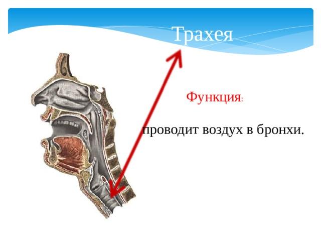 Трахея Функция : проводит воздух в бронхи.