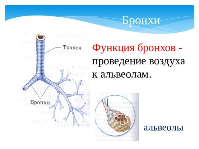 Бронхи Функция бронхов - проведение воздуха к альвеолам. альвеолы
