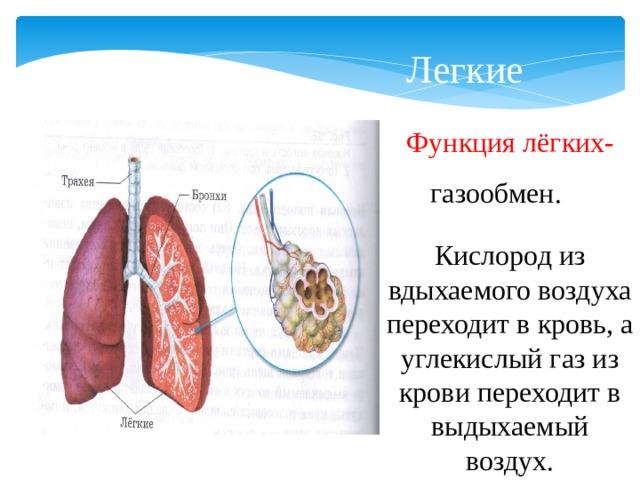 Легкие Функция лёгких- газообмен. Кислород из вдыхаемого воздуха переходит в кровь, а углекислый газ из крови переходит в выдыхаемый воздух.