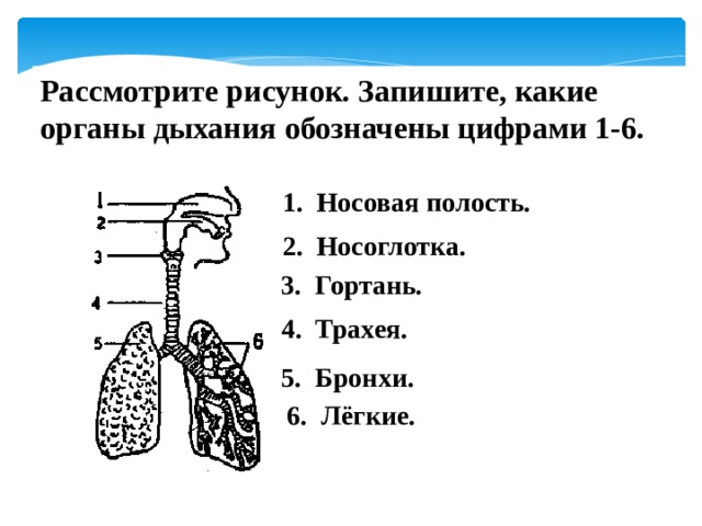 Рассмотрите рисунок. Запишите, какие органы дыхания обозначены цифрами 1-6.  1. Носовая полость.  2. Носоглотка. 3. Гортань. 4. Трахея. 5. Бронхи. 6. Лёгкие.