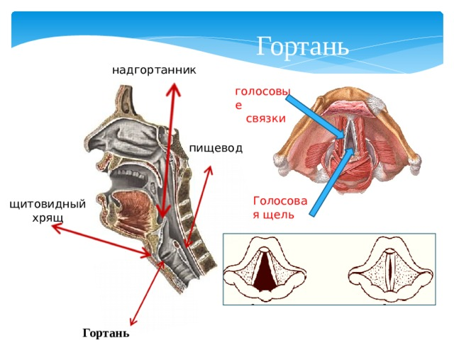 Гортань надгортанник голосовые  связки пищевод Голосовая щель щитовидный хрящ Гортань