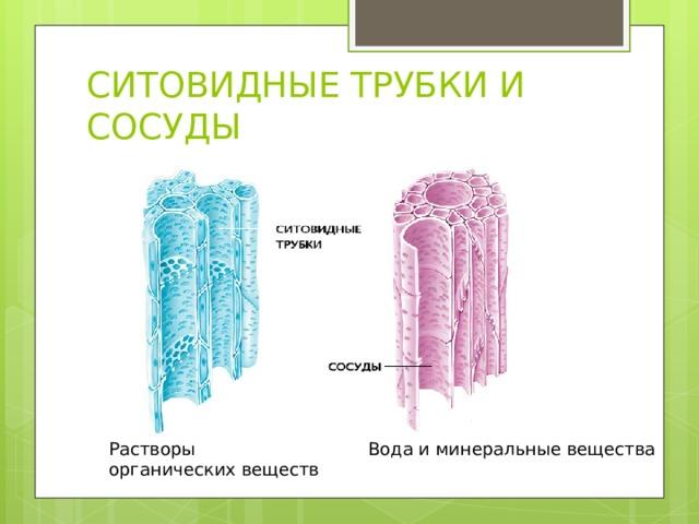 СИТОВИДНЫЕ ТРУБКИ И СОСУДЫ Растворы органических веществ Вода и минеральные вещества