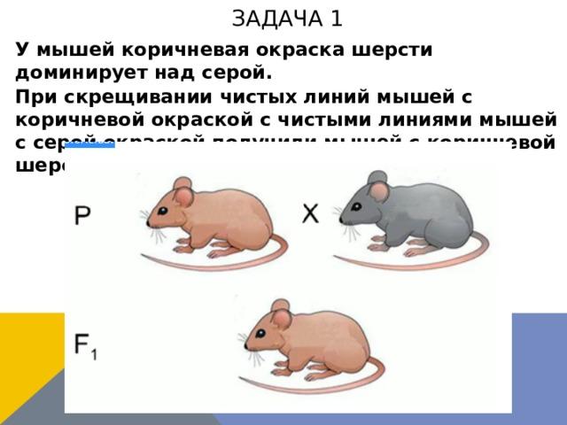 задача 1 У мышей коричневая окраска шерсти доминирует над серой. При скрещивании чистых линий мышей с коричневой окраской с чистыми линиями мышей с серой окраской получили мышей с коричневой шерстью. Каковы генотипы потомства?
