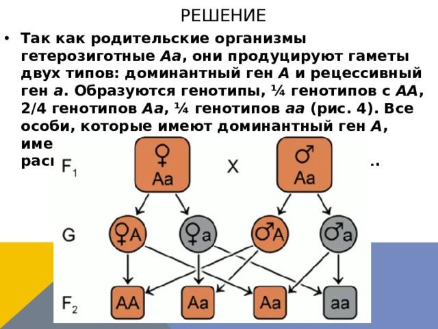 решение Так как родительские организмы гетерозиготные Аа , они продуцируют гаметы двух типов: доминантный ген А и рецессивный ген а . Образуются генотипы, ¼ генотипов с АА , 2/4 генотипов Аа , ¼ генотипов аа (рис. 4). Все особи, которые имеют доминантный ген А , имеют коричневую шерсть, получаем расщепление в F2 по окраске шерсти 3:1.