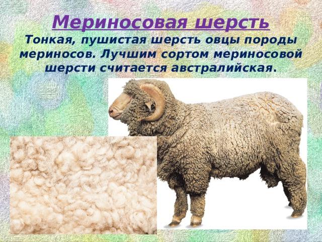 Мериносоваяшерсть  Тонкая, пушистая шерсть овцы породы мериносов. Лучшим сортом мериносовой шерсти считается австралийская .