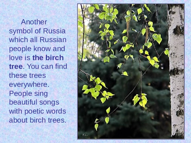 Another symbol of Russia which all Russian people know and love is the birch tree . You can find these trees everywhere. People sing beautiful songs with poetic words about birch trees.