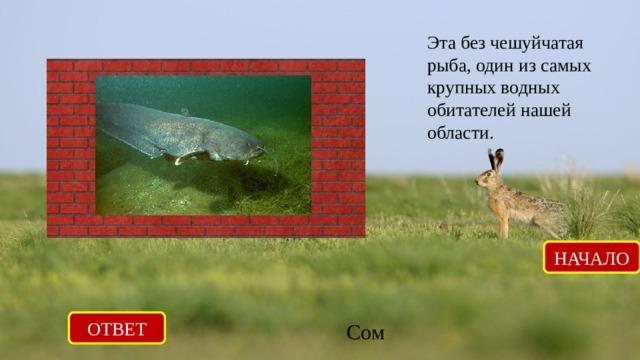 Эта без чешуйчатая рыба, один из самых крупных водных обитателей нашей области. НАЧАЛО ОТВЕТ Сом