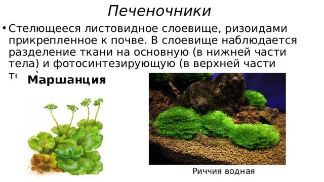Печеночники  Стелющееся листовидное слоевище, ризоидами прикрепленное к почве. В слоевище наблюдается разделение ткани на основную (в нижней части тела) и фотосинтезирующую (в верхней части тела). Риччия водная