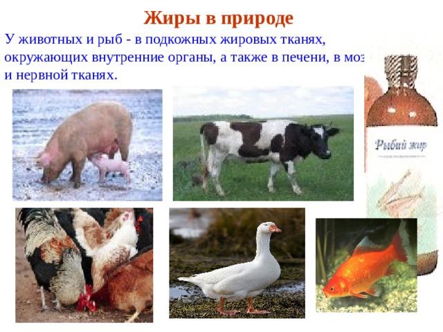 Жиры в природе У животных и рыб - в подкожных жировых тканях, окружающих внутренние органы, а также в печени, в мозговой и нервной тканях.