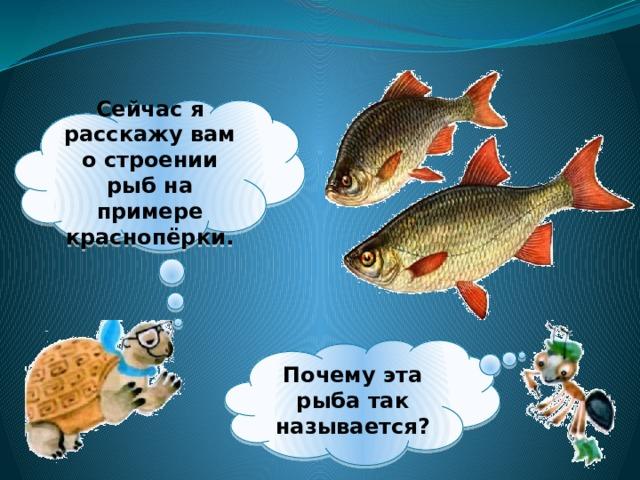 Сейчас я расскажу вам о строении рыб на примере краснопёрки. Почему эта рыба так называется?