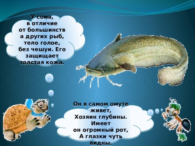 Усома, вотличие отбольшинства других рыб, тело голое, без чешуи. Его защищает толстая кожа.  Онвсамом омуте живет,  Хозяин глубины.  Имеет оногромный рот,  Аглазки чуть видны.