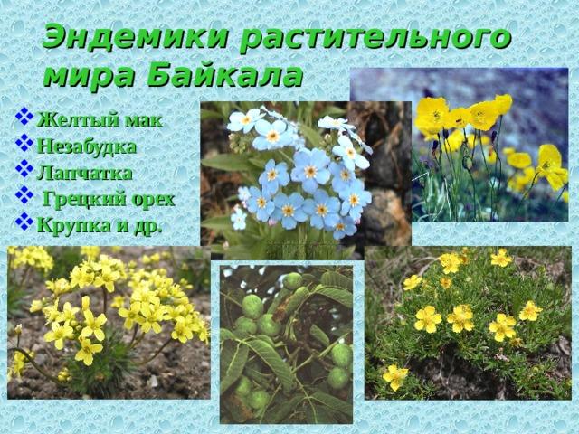 Эндемики растительного мира Байкала Желтый мак  Незабудка Лапчатка  Грецкий орех Крупка и др.