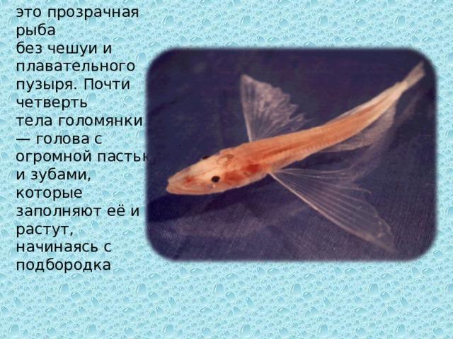 Голомянка — это прозрачная рыба без чешуи и плавательного пузыря. Почти четверть телаголомянки — голова с огромной пастью и зубами, которые заполняют её и растут, начинаясь с подбородка