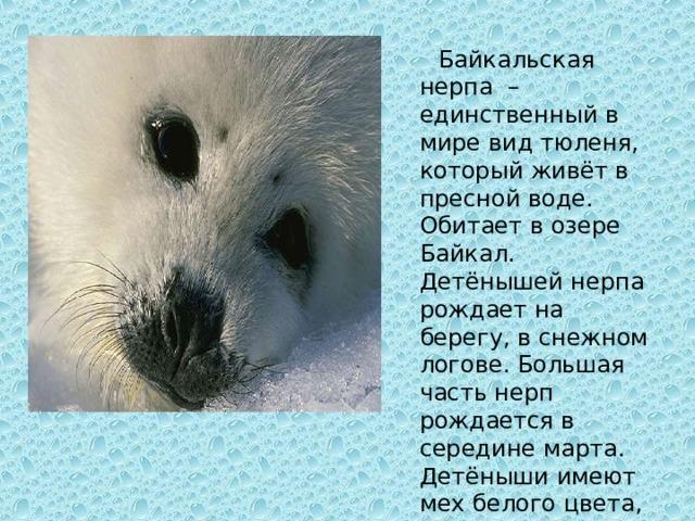 Байкальская нерпа – единственный в мире вид тюленя, который живёт в пресной воде. Обитает в озере Байкал. Детёнышей нерпа рождает на берегу, в снежном логове. Большая часть нерп рождается в середине марта. Детёныши имеют мех белого цвета, что позволяет им в первые недели жизни быть незаметными на снегу