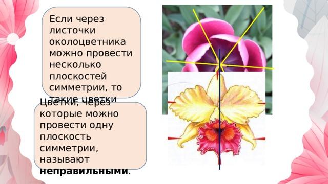Если через листочки околоцветника можно провести несколько плоскостей симметрии, то такие цветки называют правильными  Цветки, через которые можно провести одну плоскость симметрии, называют неправильными .