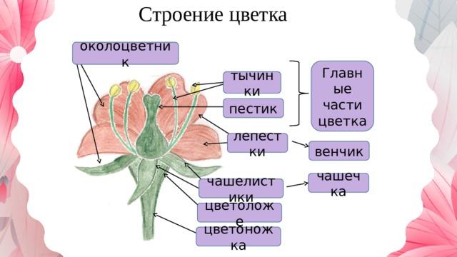 Строение цветка околоцветник Главные части цветка тычинки пестик лепестки венчик чашечка чашелистики цветоложе цветоножка