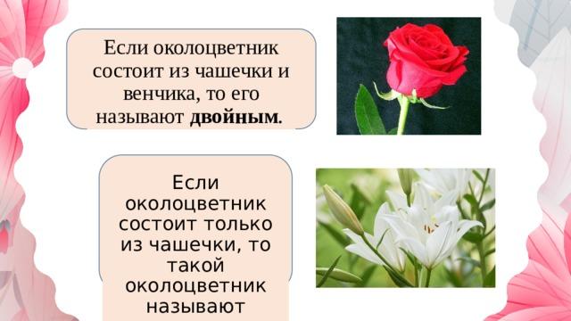 Если околоцветник состоит из чашечки и венчика, то его называют двойным .  Если околоцветник состоит только из чашечки, то такой околоцветник называют простым.