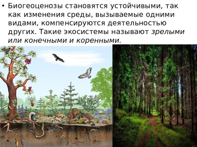 Биогеоценозы становятся устойчивыми, так как изменения среды, вызываемые одними видами, компенсируются деятельностью других. Такие экосистемы называют зрелыми или конечными и коренными.