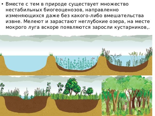 Вместе с тем в природе существует множество нестабильных биогеоценозов, направленно изменяющихся даже без какого-либо вмешательства извне. Мелеют и зарастают неглубокие озера, на месте мокрого луга вскоре появляются заросли кустарников,.