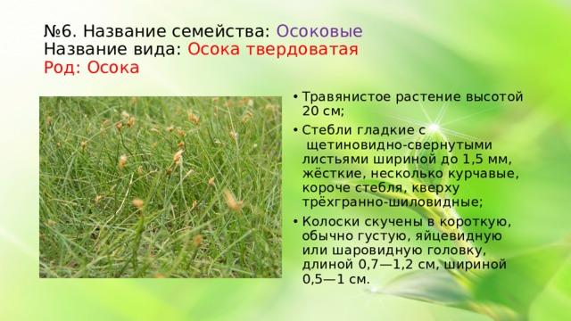 № 6. Название семейства: Осоковые  Название вида: Осока твердоватая  Род: Осока Травянистое растение высотой 20 см; Стебли гладкие с щетиновидно-свернутыми листьями шириной до 1,5 мм, жёсткие, несколько курчавые, короче стебля, кверху трёхгранно-шиловидные; Колоски скучены в короткую, обычно густую, яйцевидную или шаровидную головку, длиной 0,7—1,2 см, шириной 0,5—1 см.