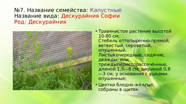 № 7. Название семейства: Капустные  Название вида: Дескурайния Софии  Род: Дескурайния Травянистое растение высотой 10-80 см;  Стебельоттопыренно-прямой, ветвистый, сероватый, опушенный. Листьяочередные, сидячие, дважды- или триждыперисторассечённые, длиной 1,5—8см, шириной 0,8—3см, у основания с ушками, опушенные; Цветкибледно-жёлтые, собраны вщиток.