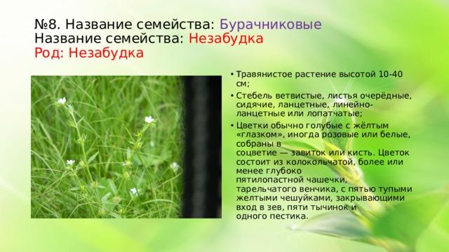 № 8. Название семейства: Бурачниковые  Название семейства: Незабудка   Род: Незабудка Травянистое растение высотой 10-40 см; Стебель ветвистые, листьяочерёдные, сидячие, ланцетные, линейно-ланцетные или лопатчатые; Цветкиобычно голубые с жёлтым «глазком», иногда розовые или белые, собраны в соцветие—завитокиликисть. Цветок состоит из колокольчатой, более или менее глубоко пятилопастнойчашечки, тарельчатоговенчика, с пятью тупыми желтыми чешуйками, закрывающими вход в зев, пятитычиноки одногопестика.