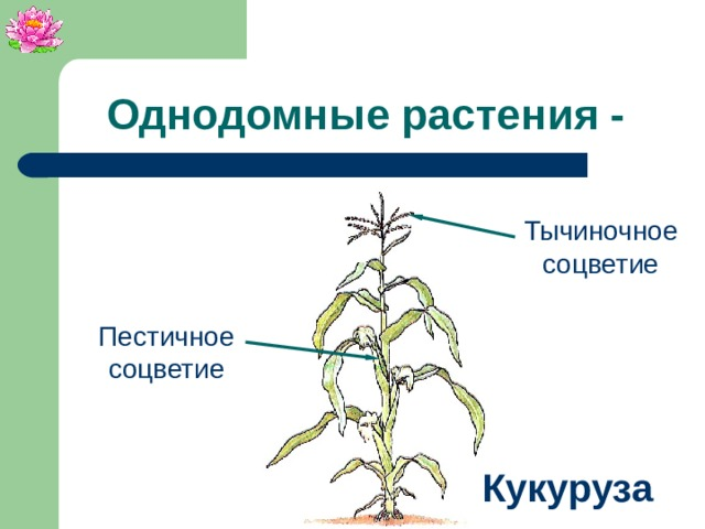Однодомные растения - Тычиночное соцветие Пестичное соцветие Кукуруза