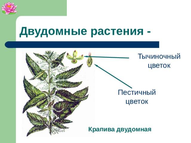 Двудомные растения - Тычиночный цветок Пестичный цветок Крапива двудомная