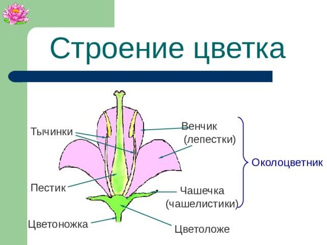 Строение цветка  Венчик (лепестки) Тычинки Околоцветник Пестик Чашечка (чашелистики) Цветоножка Цветоложе