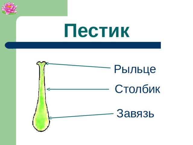 Пестик Рыльце Столбик Завязь
