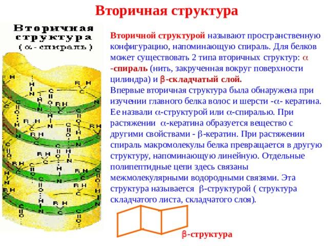 Вторичная структура Вторичной структурой называют пространственную конфигурацию, напоминающую спираль. Для белков может существовать 2 типа вторичных структур:  - спираль (нить, закрученная вокруг поверхности цилиндра) и  -складчатый слой. Впервые вторичная структура была обнаружена при изучении главного белка волос и шерсти -  - кератина. Ее назвали  -структурой или  -спиралью. При растяжении  -кератина образуется вещество с другими свойствами -  -кератин. При растяжении спираль макромолекулы белка превращается в другую структуру, напоминающую линейную. Отдельные полипептидные цепи здесь связаны межмолекулярными водородными связями. Эта структура называется  -структурой ( структура складчатого листа, складчатого слоя).  -структура