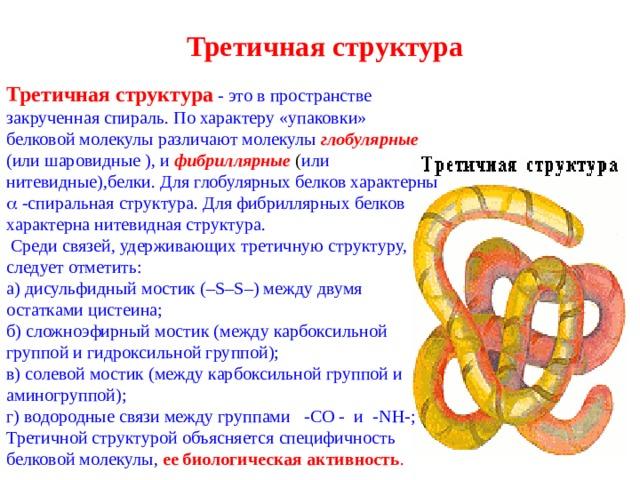 Третичная структура   Третичная структура  -  это в пространстве закрученная спираль. По характеру «упаковки» белковой молекулы различают молекулы глобулярные  (или шаровидные ), и  фибриллярные  ( или нитевидные),белки. Для  глобулярных белков характерны   -спиральная структура. Для фибриллярных белков характерна нитевидная структура.  Среди связей, удерживающих третичную структуру, следует отметить: а) дисульфидный мостик (– S – S –) между двумя остатками цистеина; б) сложноэфирный мостик (между карбоксильной группой и гидроксильной группой); в) солевой мостик (между карбоксильной группой и аминогруппой); г) водородные связи между группами -СО - и - NH -; Третичной структурой объясняется специфичность белковой молекулы, ее биологическая активность .