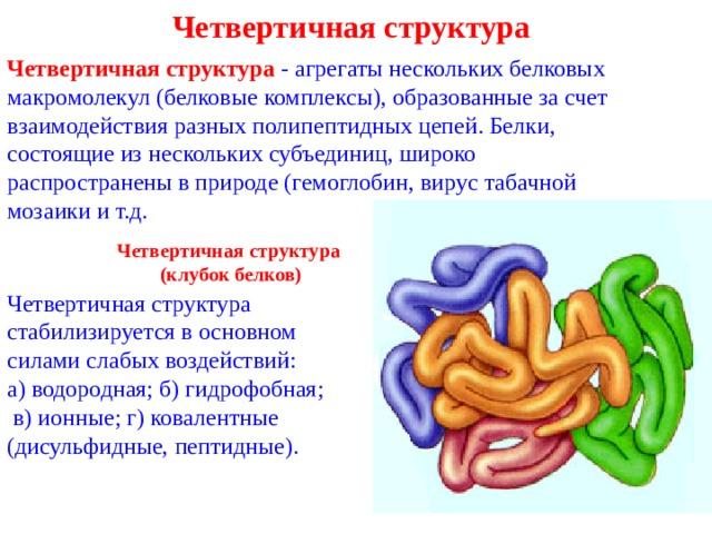 Четвертичная структура Четвертичная структура - агрегаты нескольких белковых макромолекул (белковые комплексы), образованные за счет взаимодействия разных полипептидных цепей. Белки, состоящие из нескольких субъединиц, широко распространены в природе (гемоглобин, вирус табачной мозаики и т.д. Четвертичная структура (клубок белков) Четвертичная структура стабилизируется в основном силами слабых воздействий: а) водородная; б) гидрофобная;  в) ионные; г) ковалентные (дисульфидные, пептидные).