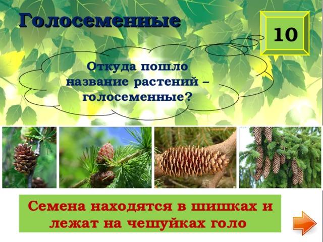 Голосеменные 10 Откуда пошло название растений – голосеменные? Семена находятся в шишках и лежат на чешуйках голо