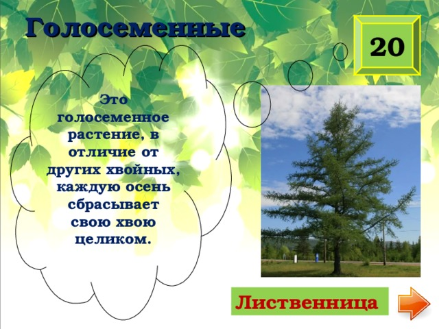 Голосеменные 20 Это голосеменное растение, в отличие от других хвойных, каждую осень сбрасывает свою хвою целиком. Лиственница