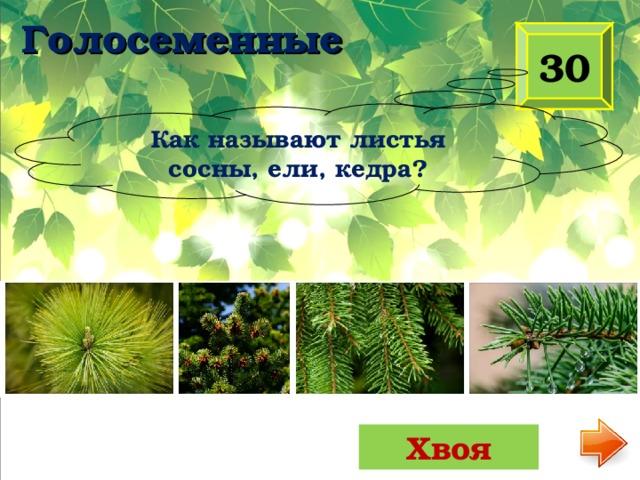 Голосеменные 30 Как называют листья сосны, ели, кедра? Хвоя