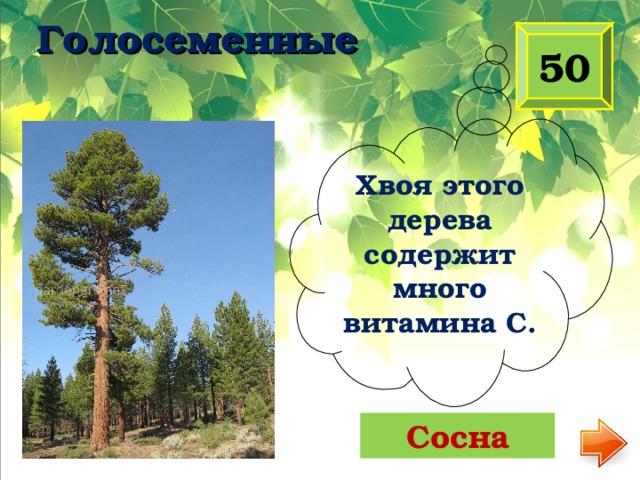Голосеменные 50 Хвоя этого дерева содержит много витамина С. Сосна