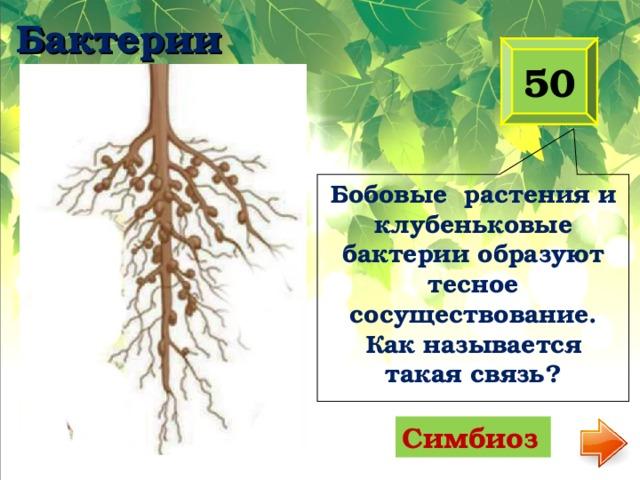 Бобовые растения и клубеньковые бактерии образуют тесное сосуществование. Как называется такая связь? Бактерии 50 Симбиоз