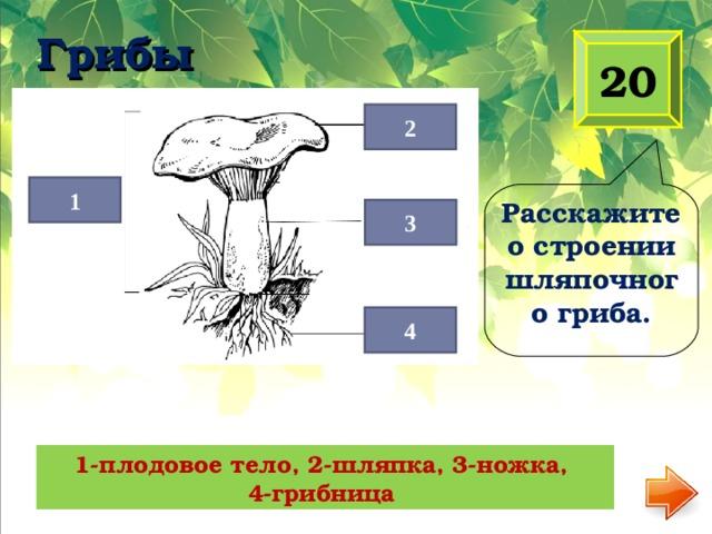 Грибы   20 2 1 Расскажите о строении шляпочного гриба. 3 4 1-плодовое тело, 2-шляпка, 3-ножка, 4-грибница