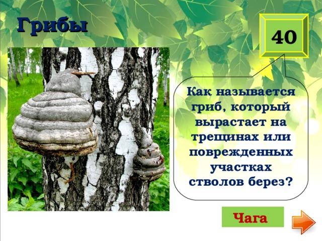 Грибы   40 Как называется гриб, который вырастает на трещинах или поврежденных участках стволов берез? Чага