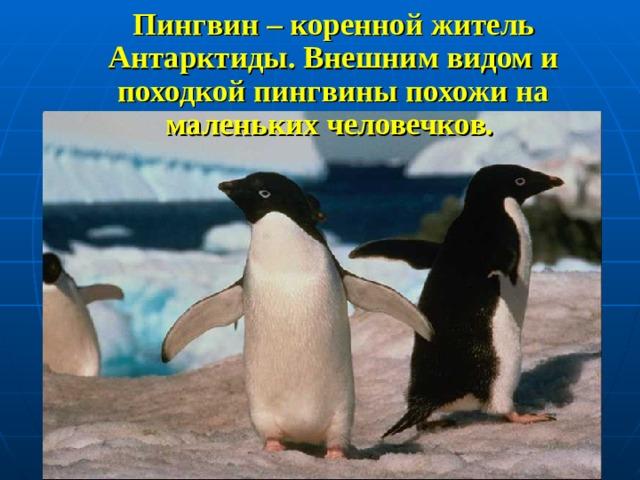 Пингвин – коренной житель Антарктиды. Внешним видом и походкой пингвины похожи на маленьких человечков.