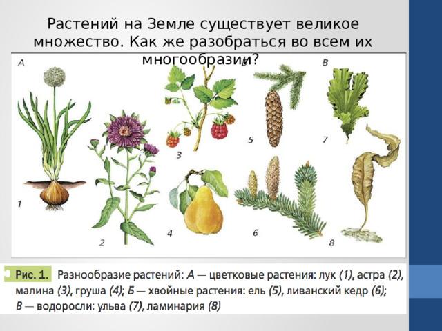 Растений на Земле существует великое множество. Как же разобраться во всем их многообразии?