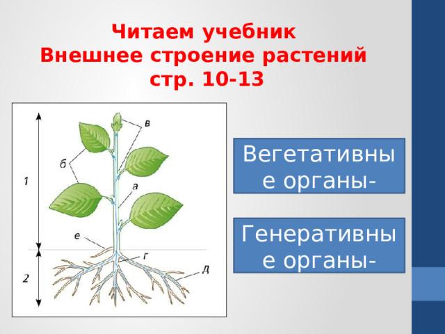 Читаем учебник Внешнее строение растений стр. 10-13 Вегетативные органы- Генеративные органы-