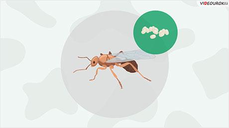 Отряды насекомых: Перепончатокрылые