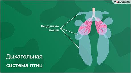 Органы дыхания и газообмен