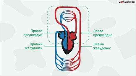 Кровеносная система. Кровь