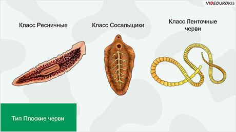 Тип Плоские черви. Тип Круглые черви
